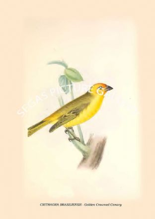 CRITHAGRA BRASILIENSIS - Golden Crowned Canary